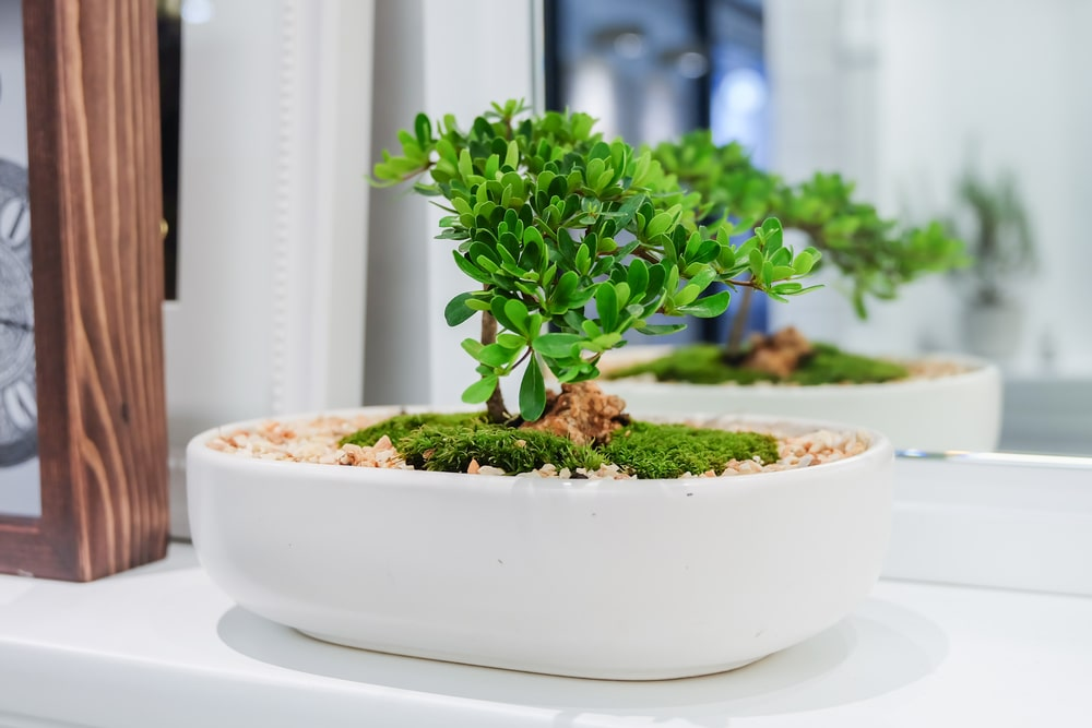 Uprawa drzewka bonsai